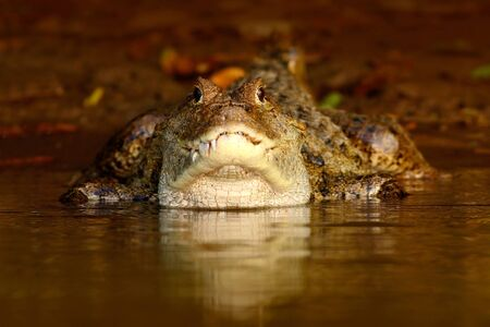 Portrait of Caiman, crocodile in the water with evening sun. Crocodile from Costa Rica.