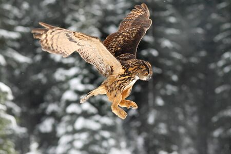Eurasian Eagle owl, flying bird with open wings. Stock Photo
