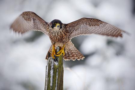 Peregrine Falcon, bird of prey sitting on tree trunk with open wings during winter with snow, Italy. Winter scenery with sultan. Snowy winter in the forest. Action landing scene with falcon. Stock Photo