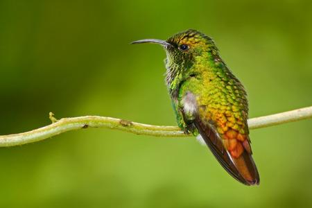 Beau colibri. Émeraude à tête cuivrée, Elvira cupreiceps, beau colibri de, oiseau vert, forêt tropicale, animal dans la nature