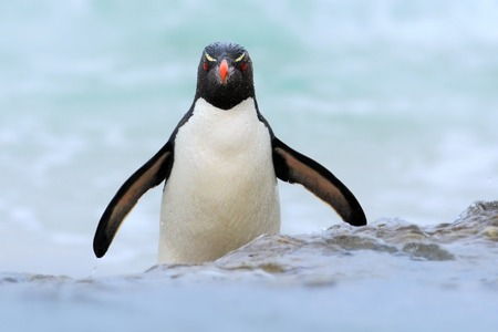Rockhopper penguin, Eudyptes chrysocome, jumps out of the blue water while swimming through the ocean in Falkland Island. Stock Photo