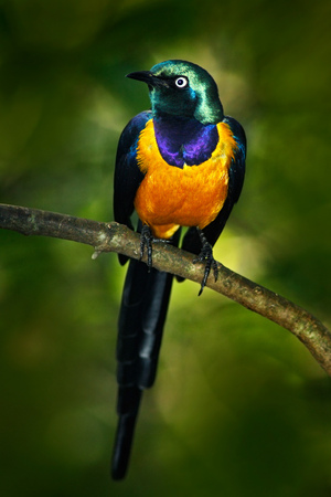 Beautiful shiny bird in the green forest. Golden-breasted Starling, Cosmopsarus regius, Golden-breasted Starling on the tree branch in the nature habitat.