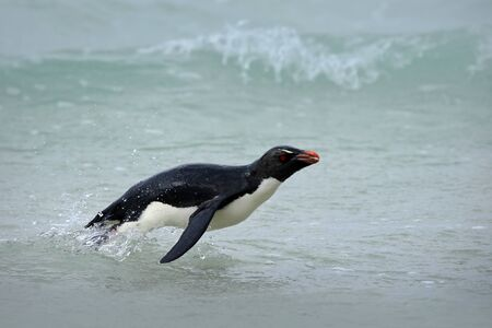 Action water scene with penguin. Antarctica. Penguin in the blue waves. Rockhopper penguin, water bird jumps out of the blue water while swimming through the ocean in Falkland. Penguin in the sea. Standard-Bild