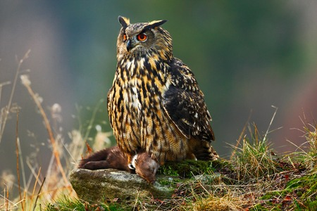 Eurasian Eagle Owl sitting on a stone with a dark brown marten during orange autumn. Beautiful Eagle with kill. Eagle Owl in the nature forest habitat. Wildlife scene from nature with owl. Imagens
