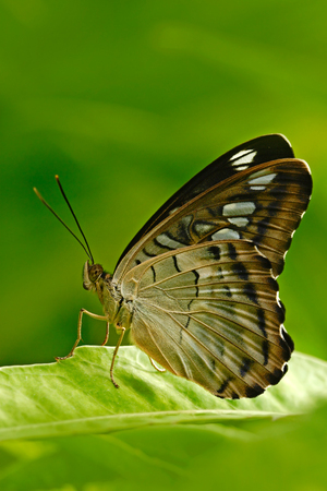 Beautiful butterfly, Clipper, Parthenos sylvia, resting on the green branch