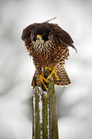 Peregrine Falcon, bird of prey sitting on tree trunk