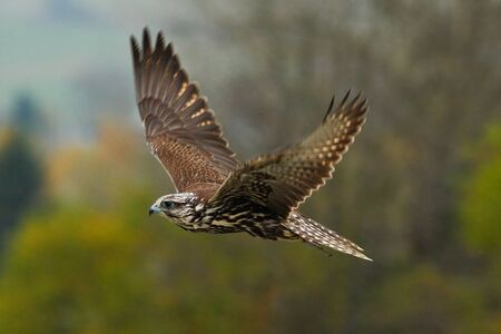 Flying falcon with forest in the background Stock Photo