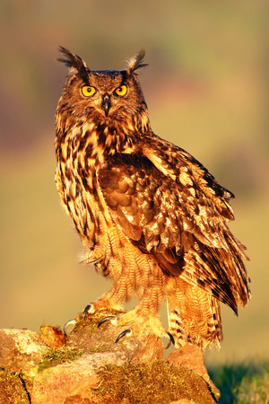 Big Eurasian Eagle Owl, bird sitting on the stone in the meadow with catch hedgehog Imagens