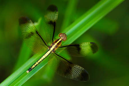 Dragonfly from Sri Lanka. Pied Parasol, Neurothemis tullia, sitting on the green leaves. Beautiful dragonfly in the nature habitat. Nice insect from Asia. Summer day in nature with dragonfly. Stock Photo