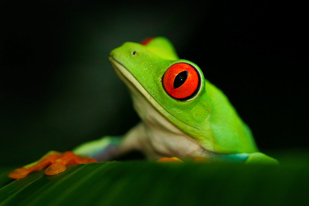 Close-up portrait of frog with red eyes. Red-eyed Tree Frog, Agalychnis callidryas, in the nature habitat, Panama. Beautiful frog sitting on the green leave. Rare amphibian from tropic forest.