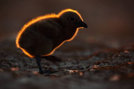 Young bird with beautiful back light during sunset. Evening wildlife scene. Brown skua, Catharacta antarctica, water bird sitting in the autumn grass, evening light, Argentina. Chicken babe. Stock Photo