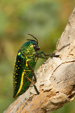 Insect Sternocera sternicornis.green and yellow shiny insect siting on the branch. bright insect from Sri Lanka. Glossy and lustrous insect in the nature habitat. Beautiful big beetle from India.
