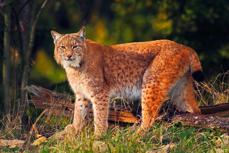 Wild cat in the forest. Lynx in the nature forest habitat. Eurasian Lynx in the forest, birch and pine forest. Lynx standing on the green moss stone. Cute lynx, wildlife scene from nature, Germany.