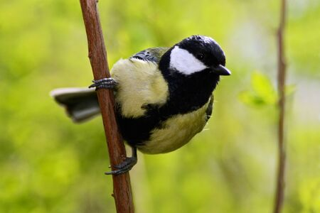 Beautiful song bird with summer background. Great Tit, Parus major, black and yellow songbird sitting on the nice lichen tree branch, Germany. Small bird sitting on the branch. Summer in the nature.