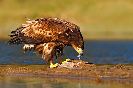 Eagle with fish. White-tailed Eagle, Haliaeetus albicilla, feeding in the water, with brown grass in background, Norway. Eagle in the water. Feeding scene with eagle and fish. Bird of prey. Stock Photo - 91553869