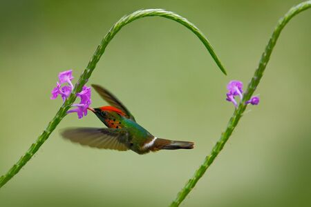 Hummingbird Tufted Coquette, colorful bird with orange and crest in green and violet flower habitat, flying next to beautiful pink flower, action scene, Trinidad. Beautiful hummingbird in fly. Stock Photo