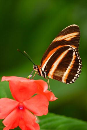 Beautiful orange butterfly Zebra Longwing, Heliconius charitonius. Butterfly in nature habitat. Nice insect from Costa Rica. Butterfly in the red bloom. Butterfly sitting on the flower from Panama. Stock Photo