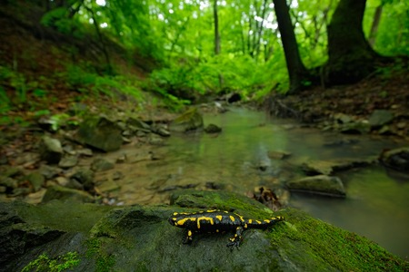 Salamander in nature forest habitat with river. Gorgeous Fire Salamander, Salamandra salamandra, spotted amphibian on the gray stone with green moss. Rare animal in the dark forest, wide angle lens.