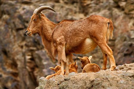 Himalayan tahr in the rock mountain habitat. Himalayan taurus with little youngs. Himalayan taurus with pups in stone mountain. Himalayan tahr from China and India. Animal in the rock mountain Himalayas.