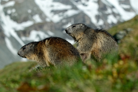 Two marmots in mountain landscape with beautiful back light. Fighting animals Marmot, Marmota marmota, in the grass with nature rock mountain habitats, Alp, France. Action wildlife scene from snow hill.