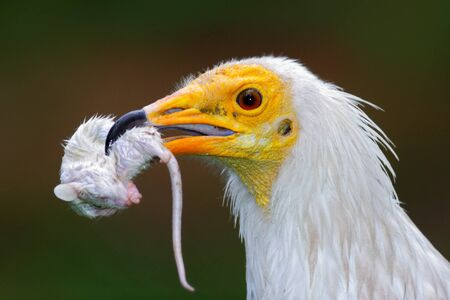 Close-up portrait of bird of prey with catch, little mouse. Egyptian Vulture, Neophron percnopterus, with kill mouse. White head portrait with mouse in the bill. Bird in nature habitat. Face portrait
