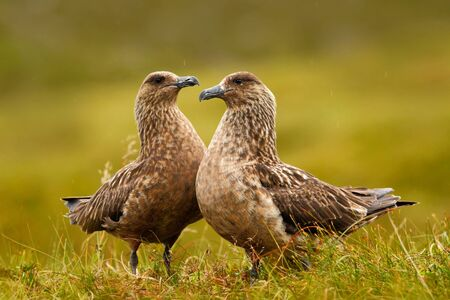 Two birds in the grass habitat with evening light. Brown skua, Catharacta antarctica, water bird sitting in autumn grass, Norway. Pair of Skua in the nature habitat. Wildlife scene with two birds.