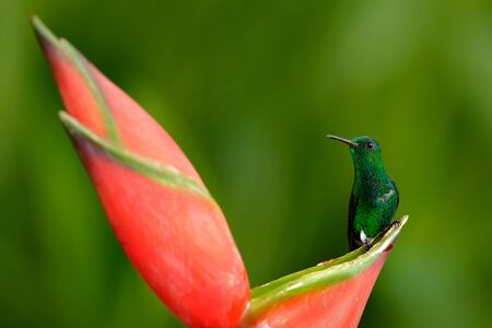 Hummingbird from tropic forest, Costa Rica. Beautiful scene with bird and flower in wild nature. Hummingbird sitting on beautiful red heliconia flower with green forest background. Wildlife scene.