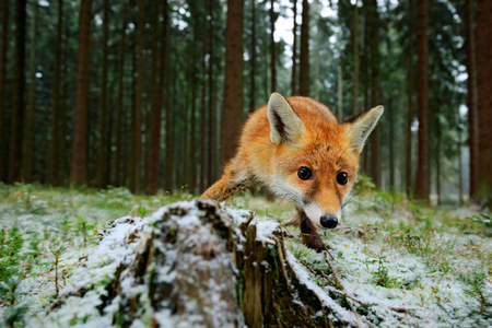 Red fox in the nature forest habitat. Red fire taken with a wide angle lens. Animal with tree trunk. Green grass with the first snow in the forest. Running Red Fox, Vulpes vulpes, at green forest during winter. Stock Photo