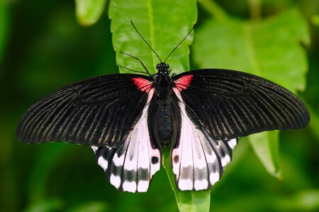 Beautiful butterfly from Borneo. Scarlet swallowtail, Papilio rumanzovia, sitting on the green leaves. Insect in dark tropic forest, nature habitat. Red and white butterfly in green vegetation. Stock Photo