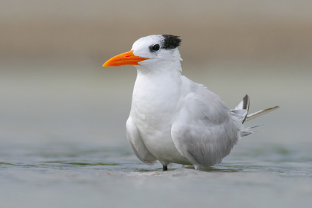 Tern in the water. Royal Tern, Sterna maxima or Thalasseus maximus, seabird of the tern family Sternidae, bird in the clear nature habitat, animal sea, spring time, during morning sunrise, USA. Stock Photo
