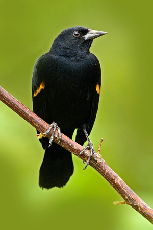 Black bird from tropic forest. Black and red song bird. Red-winged Blackbird, Agelaius phoeniceus, exotic tropical red and black bird song form Costa Rica, in the green forest nature habitat.