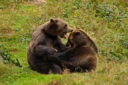 Two fighting brown bears in the forest in Slovakia. Wild bears in the nature habitat.