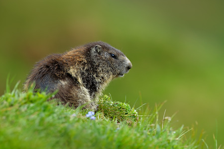 Cute animal. Fighting animals Marmot, Marmota marmota, in the grass with nature rock mountain habitats, Alp, Austria. Mormot with grass and gray clouds. Widlife scene from Alp.