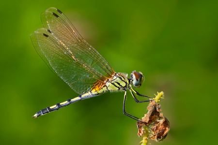 Dragonfly from Sri Lanka. Dancing dropwing, Trithemis pallidinervis, sitting on the green leaves. Beautiful dragon fly in the nature habitat. Nice insect from Asia. Summer day in the nature.