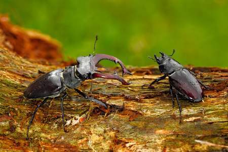 Male and famale of insect. Stag beetle, Lucanus cervus, big insect in nature habitat, old tree trunk, clear orange background, Czech Republic. Insect in the forest. Two insect sitting on branch.