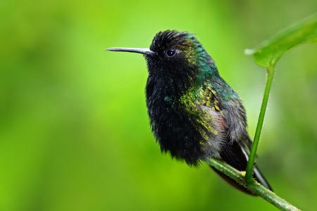 Black-Bellied Hummingbird, Eupherusa nigriventris, rare endemic hummingbird from Costa Rica, black bird sitting on a beautiful green flower, tropical forest, animal in nature habitat. Stock Photo