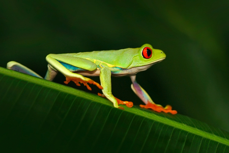 Red-eyed Tree Frog, Agalychnis callidryas, animal with big red eyes, in the nature habitat, Costa Rica. Beautiful exotic animal from Central America. Frog in the nature. Beautiful tropic forest.