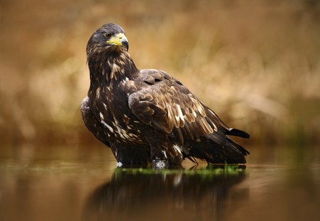 Eagle with fish. White-tailed Eagle, Haliaeetus albicilla, feeding in the water, with brown grass in background, Poland. Eagle in the water. Feeding scene with eagle and fish. Bird of prey.
