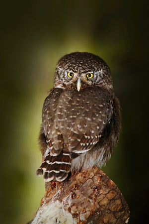 Small bird Eurasian Pygmy Owl, sitting on larch tree trunk with clear dark forest background, in nature habitat, Sweden. Owl in the forest. Small owl in the nature habitat. Stock Photo