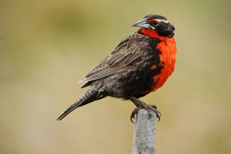 Long-tailed Meadowlark, Sturnella loyca falklandica, Saunders Island, Falkland Islands