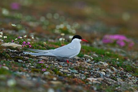 White bird with black cap, Arctic Tern, Sterna paradisaea, with Arctic landscape in background, Svalbard, Norway. Tern in the pink flower. Wildlife scene with bird from Svalbard. Summer in the Norway.