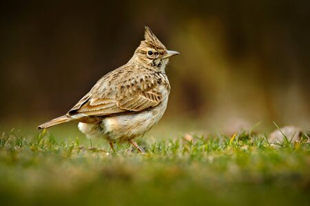 Crested Lark, Galerida cristata, in the grass on the meadow. Bird in the nature habitat, Czech Republic.