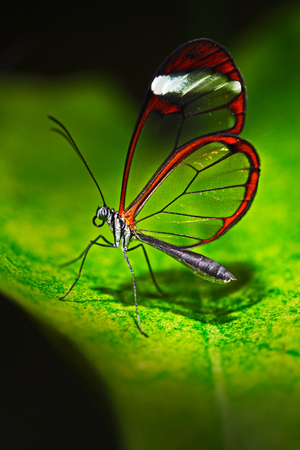 Nero Glasswing, Greta nero, Close-up of transparent glass butterfly on green leaves, scene from tropical forest, Costa Rica, resting on a green leaf, beautiful insect in the green nature habitat.