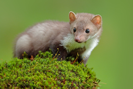 Wildlife scene, France. Stone marten, Martes foina, with clear green background. Beech marten, close-up portrait of forest animal. Small predator sitting on the beautiful green moss stone in the forest.