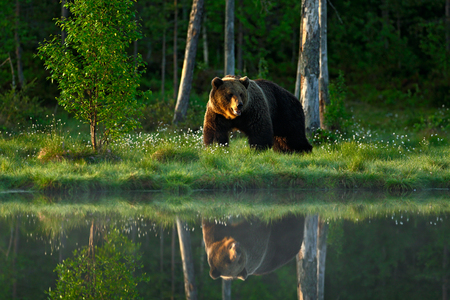 Big brown bear walking around the lake in the morning sun. Dangerous animal in the forest. Wildlife scene from Europe. Brown bird in the nature habitat with water, Russia. Bear with reflection in water. Stockfoto