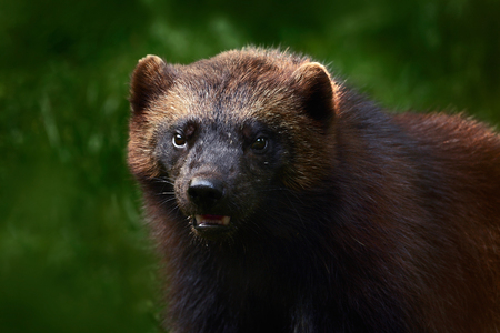 Close-up portrait of wild wolverine. Face portrait of wolverine. Running tenacious Wolverine in Finland. Wolverine in the forest. Raptor in the nature. Wolverine in North Europe. Dangerous animal.
