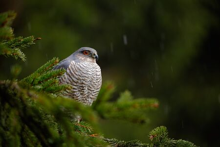 Birds of prey Eurasian sparrowhawk, Accipiter nisus, sitting on spruce tree during heavy rain in the forest. Hawk in the rain forest. Bird in the green habitat. Rain in the forest with bird. Stock Photo