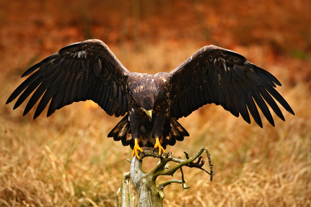 White-tailed Eagle, Haliaeetus albicilla, landing on the tree branch, with brown grass in background. Bird landing. Eagle flight. White-tailed Eagle from Norway. Autumn colors in the forest with bird. Stock Photo