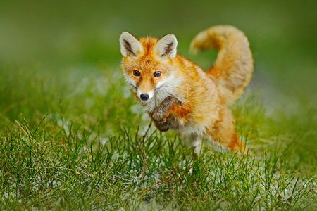 Jumping red fox. Running Red Fox, Vulpes vulpes, at green forest. Wildlife scene from Europe. Orange fur coat in the nature habitat. Action scene with red fox. Beautiful fox in the forest.