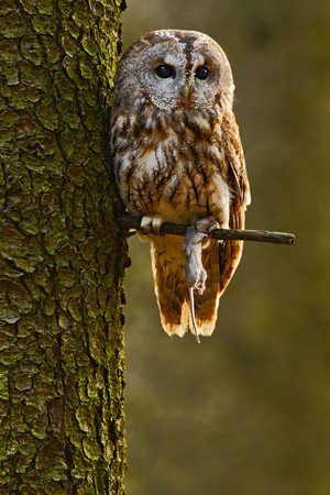 Tawny owl in the forest with a mouse in the talon. Brown owl sitting on tree stump in the dark forest habitat with catch. Beautiful animal with food. Bird in the forest of Sweden.